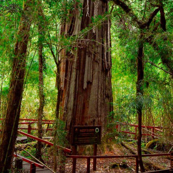 Bosque de Alerces